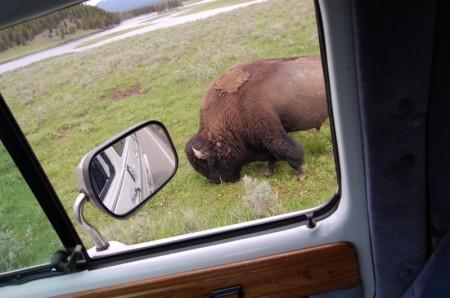 bisonfriend