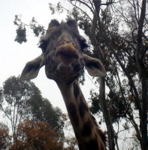 giraffeface